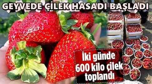 Geyve Akdoğan'da Çilek Hasadı Başladı