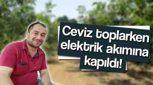 Ceviz Toparken Elektrik Akımına Yakalandı